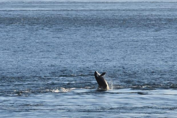 Orca spotted in the Salish Sea on July 27, 2021.  (Orca Behavior Institute  - image credit)