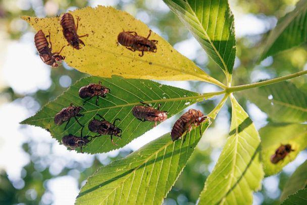 PHOTO: Empty, nymphal skin of cicadas remain in a tree following the hatch of Brood XIII  in Willow Springs, Ill., June 11, 2007. (Scott Olson/Getty Images)