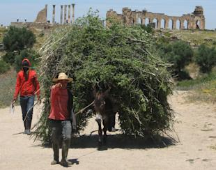 farmers leading a donkey amid the ruins of the Roman city of Volubilis in Morocco.