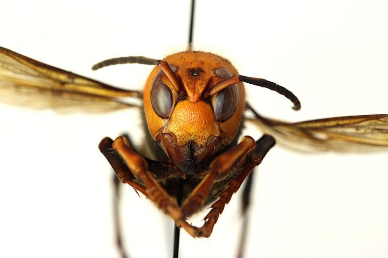 The Asian giant hornet, the world's largest species of hornet, was found late last year in northwest Washington.