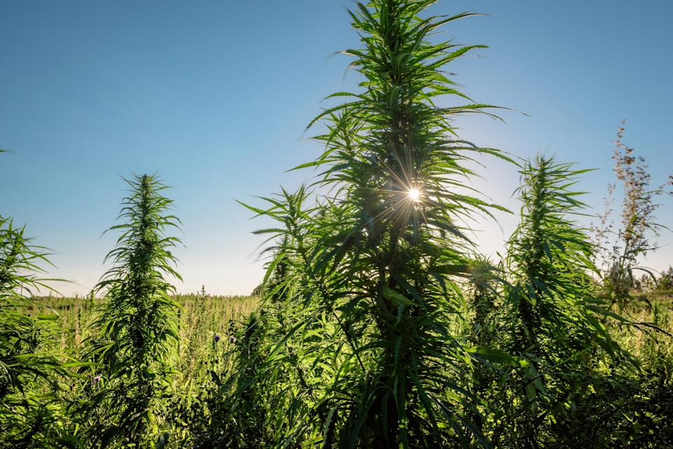 An outdoor hemp crop, with a plant in the foreground that's partially blocking the sun on the horizon.