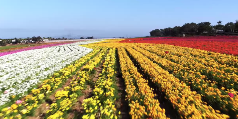 Photo credit: The Flower Fields