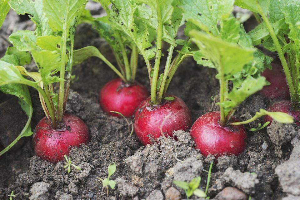 "<p>Looking to grow your own radishes? These will take around three to four weeks and can be grown either in small pots on your kitchen windowsill or in <a href=""https://www.housebeautiful.com/uk/garden/a32285518/holly-willoughby-garden-growing-potatoes/"" rel=""nofollow noopener"" target=""_blank"" data-ylk=""slk:garden"" class=""link rapid-noclick-resp"">garden</a> areas. When placing the seeds in soil, make sure you sow them very thinly, spacing them about 2.5cm apart.</p><p><strong>Sowing to harvest: 25 days</strong></p><p><a class=""link rapid-noclick-resp"" href=""https://go.redirectingat.com?id=127X1599956&url=https%3A%2F%2Fwww.dobies.co.uk%2FGarden%2FVegetables%2FVegetable-Seeds%2FAll-Vegetable-Seeds%2FRadish-Seeds---Amethyst_438536.htm%23438536&sref=https%3A%2F%2Fwww.housebeautiful.com%2Fuk%2Fgarden%2Fplants%2Fg32302106%2Feasy-vegetables-to-grow%2F"" rel=""nofollow noopener"" target=""_blank"" data-ylk=""slk:BUY RADISH SEEDS"">BUY RADISH SEEDS</a><br></p><p><strong>READ MORE: </strong><a href=""https://www.housebeautiful.com/uk/garden/plants/a32077188/vegetables-regrow-kitchen-scraps/"" rel=""nofollow noopener"" target=""_blank"" data-ylk=""slk:7 vegetables you can easily regrow indoors using kitchen scraps"" class=""link rapid-noclick-resp"">7 vegetables you can easily regrow indoors using kitchen scraps</a></p>"