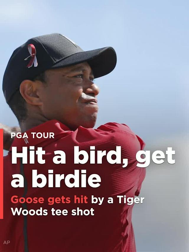 A goose seemingly minding its own business walking down the fairway on the 8th hole at the PGA National in Palm Beach during the final round of the Honda Classic on Sunday got hit from behind by a Tiger Woods tee shot.