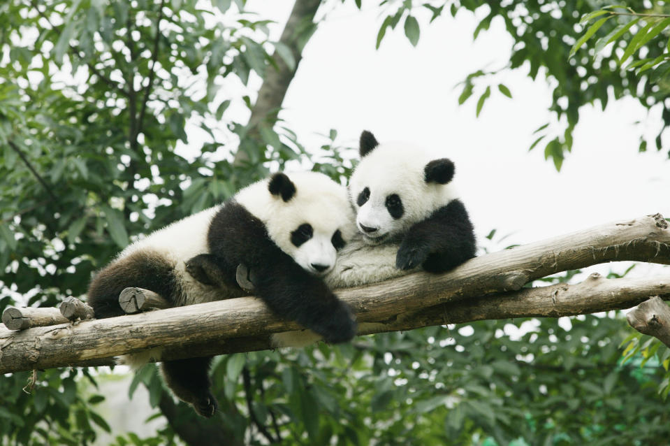 Pandas are a sign of conservation. (Getty Images)