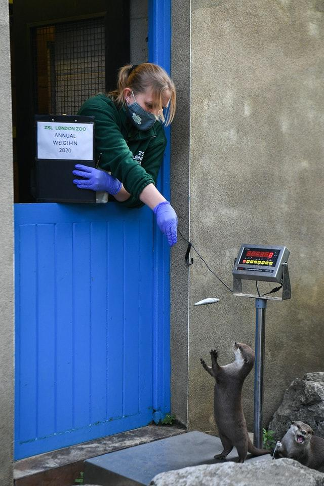 Keeper Kate Clark weighs an otter during the annual weigh-in at ZSL London Zoo