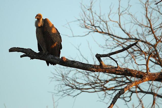 A vulture sits on a branch in the Edeni Game Reserve, a 21,000 acre wilderness area with an abundance of game and birdlife located near Kruger National Park in South Africa.