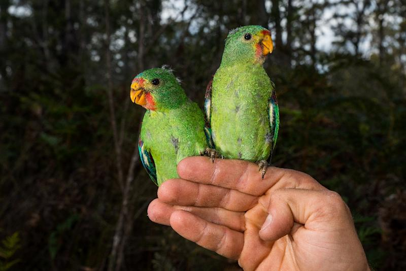 "Critically endangered Swift Parrots are under threat from squirrel-like ""sugar gliders"" in a battle for space in Australia's ancient forests, scientists say as they race to save the rare birds. (AFP Photo/HENRY COOK)"