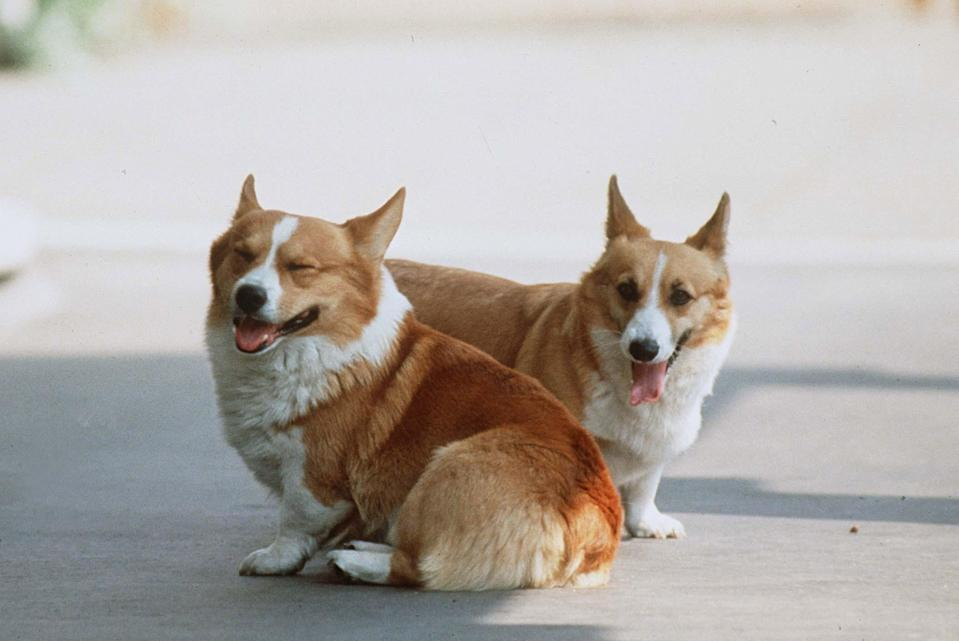 <p> Queen Mother Corgis at Clarence House </p> (Tim Graham/Getty Images)