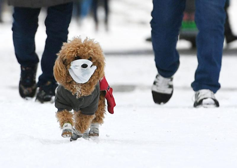 CHANGCHUN, CHINA - MARCH 04: A pet dog wearing face mask walks with owner on snow amid novel coronavirus outbreak on March 4, 2020 in Changchun, Jilin Province of China. (Photo by Zhang Yao/China News Service via Getty Images)