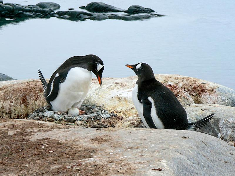 A Gentoo penguin pair admiring their egg, in their stone nest, built on rocks, as part of a large breeding colony. It is located close to the shoreline on the Antarctic Peninsula. The parents are taking turns to sit and incubate their precious egg.