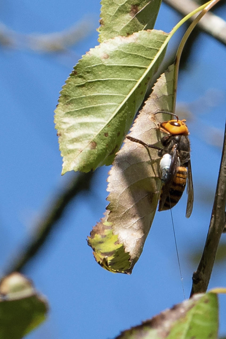 An Asian giant hornet that had a tracking device attached by workers with the Washington State Agriculture Department near Blaine, Wash., Oct. 22, 2020. (Karla Salp/Washington State Agriculture Dept. via The New York Times)