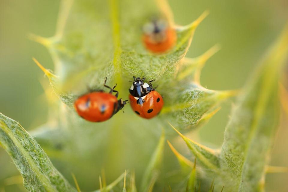 <p><strong>Convergent Lady Beetle</strong></p><p>Never heard of a Lady Beetle? That's because most people call them lady bugs. </p>
