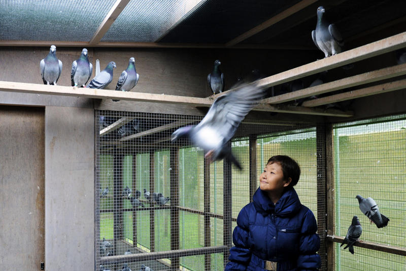 FILE - In this Wednesday, Jan. 12, 2011 file photo, China's Yi Minna, the Chief Operating Officer at the PiPa pigeon auction house watches pigeons at Pigeon Paradise in Knesselare, Belgium. Lightning fast pigeon Bolt with a name and pedigree to match has become the world's most expensive racing bird when his Belgian breeder sold it for 310,000 euros ($400,000) to a Chinese businessman. (AP Photo/Geert Vanden Wijngaert, file)