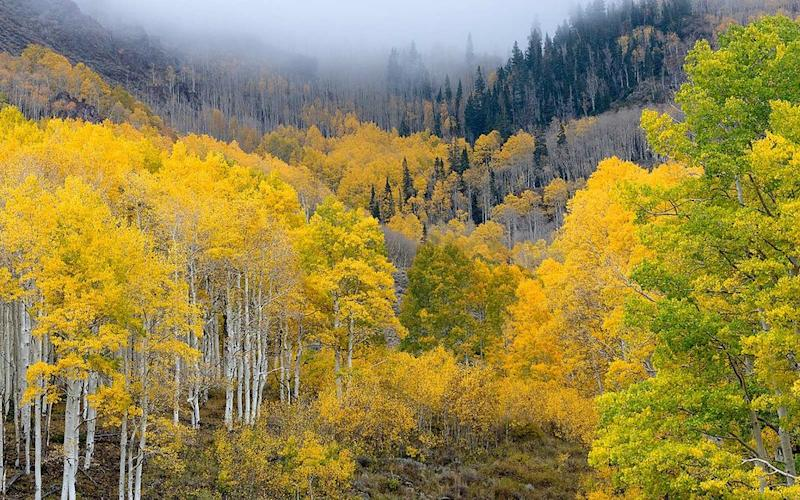 Earth's biggest living thing UNDER THREAT: National Park's famous Pando trees endangered