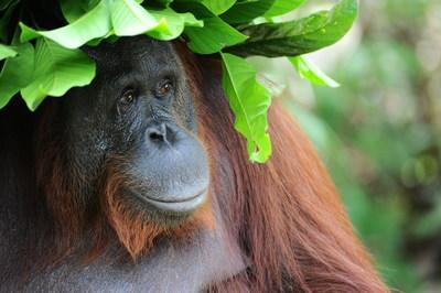 Siswi, an adult female orangutan living in Tanjung Puting National Park in Indonesian Borneo, wearing a hat she constructed with leaves to protect her from the sun and rain.