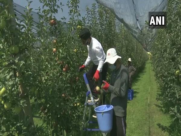 SKUAST introduce hail net system to protect high density apples in Jammu and Kashmir. (Photo/ANI)