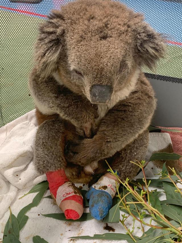 The koala was severely dehydrated when it was found (Caters)