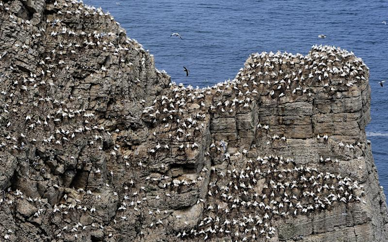 Birds nest on Bempton Cliffs - Credit: PA Wire/John Giles