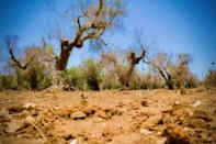 Xylella fastidiosa has devastated ancient olive trees in Italy's southern Apulia region and beyond since 2013, leaving thousands of skeleton-like trees in its wake, and little hope for farmers (AFP Photo/Charles ONIANS)