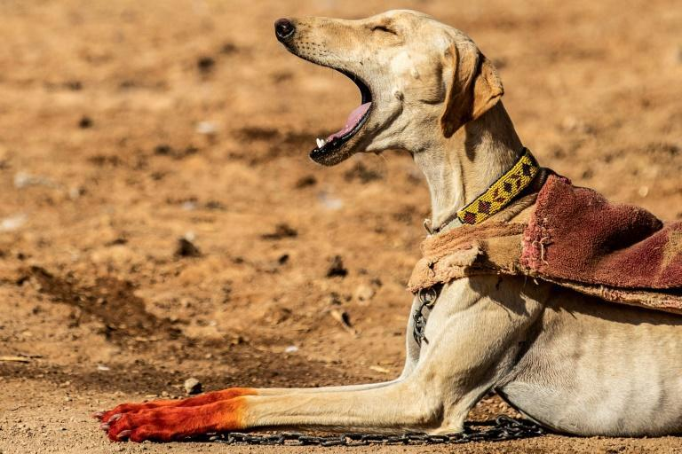 Salukis, which have been used for hunting for thousands of years in the Middle East, are among the fastest canines; breeders in Syria dye their paws with henna as a form of decoration and protection