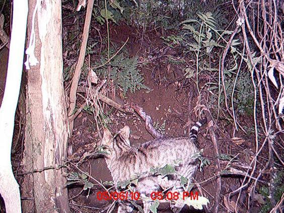 Feral cat captured by remote camera at Mount Royal National Park (Wikimedia Commons)