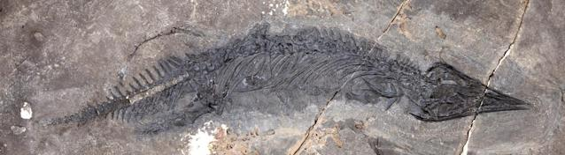 The fossil of Gunakadeit joseeae, which was found in Southeast Alaska. About two thirds of the tail had already eroded away when the fossil was discovered (SWNS)