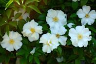 """<p>This hardy plant blooms in <a href=""""https://statesymbolsusa.org/symbol-official-item/georgia/state-flower/cherokee-rose"""" rel=""""nofollow noopener"""" target=""""_blank"""" data-ylk=""""slk:early spring"""" class=""""link rapid-noclick-resp"""">early spring</a>, but be careful—it has thorns.</p>"""