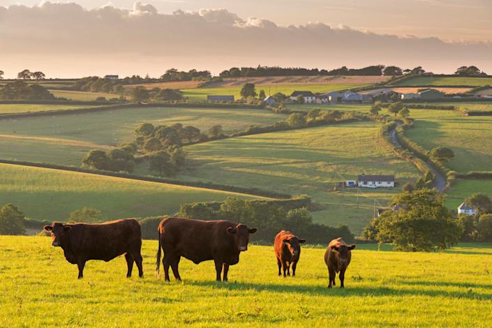 North Devon Red Ruby cattle herd grazing in the rolling countryside, Black Dog, Devon, England, United Kingdom, Europe