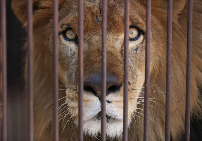 <p>A former circus lion looks out from inside his cage on the outskirts of Lima, Peru, April 26, 2016. <i>(Martin Mejia/AP)</i></p>