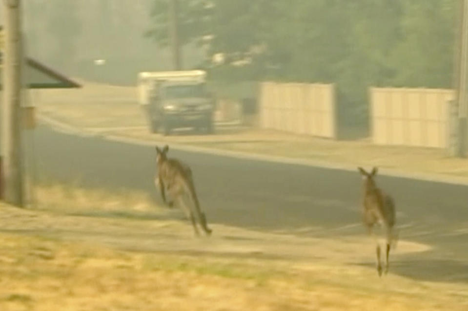 In this image made from video taken Dec. 21, 2019, kangaroos move as nearby property burn in a fire in Lithgow, New South Wales state, Australia. Australian Prime Minister Scott Morrison on Sunday apologized for taking a family vacation in Hawaii as deadly bushfires raged across several states, destroying homes and claiming the lives of two volunteer firefighters.(Australian Broadcasting Corporation via AP)