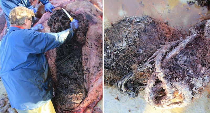Worker with knife used to cute marine debris from stomach of dead sperm whale in Scotland.