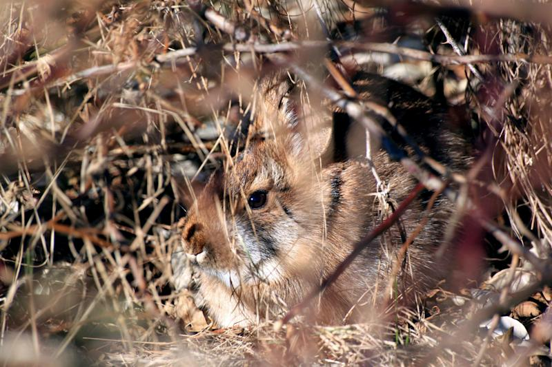 This undated photo provided by the New Hampshire Fish and Game Department shows a New England cottontail rabbit. Wildlife officials say the New England cottontail could soon face extinction, due to diminishing shrublands across the Northeast. The only rabbit species indigenous to the region lost more than 80 percent of its habitat over the last 50 years. The U.S. Fish and Wildlife Service has partnered with state agencies and private organizations from Maine to New York to restore its natural habitat and save an animal that is a candidate for protection under the Endangered Species Act.(AP Photo/ New Hampshire Fish and Game Department, Victor Young)
