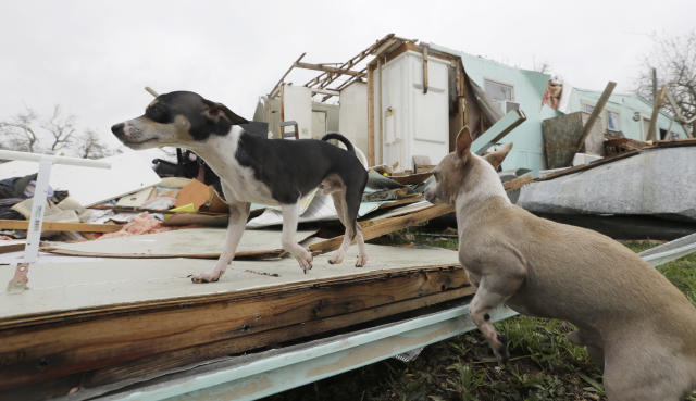 <p>Dogs owned by Sam Speights walk over their Hurricane Harvey damaged home, Aug. 27, 2017, in Rockport, Texas. (Photo: Eric Gay/AP) </p>