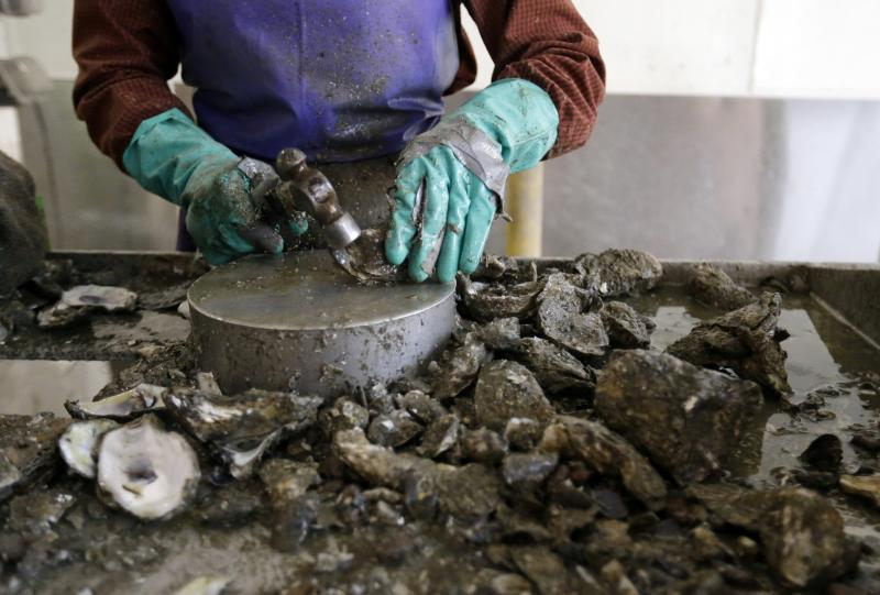 FILE- In this June 24, 2014 file photo, a worker shucks the last of a small amount of oysters they received for the day at P & J Oyster Co., an oyster distributor, in New Orleans. Floodwaters carried down from the Midwest are killing oysters and driving crabs, shrimp and finfish out of Louisiana and Mississippi bays and marshes to saltier waters. (AP Photo/Gerald Herbert, File)