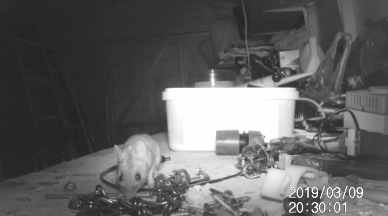 <em>The mouse was filmed tidying up a pensioner's garden shed in the middle of the night (SWNS)</em>