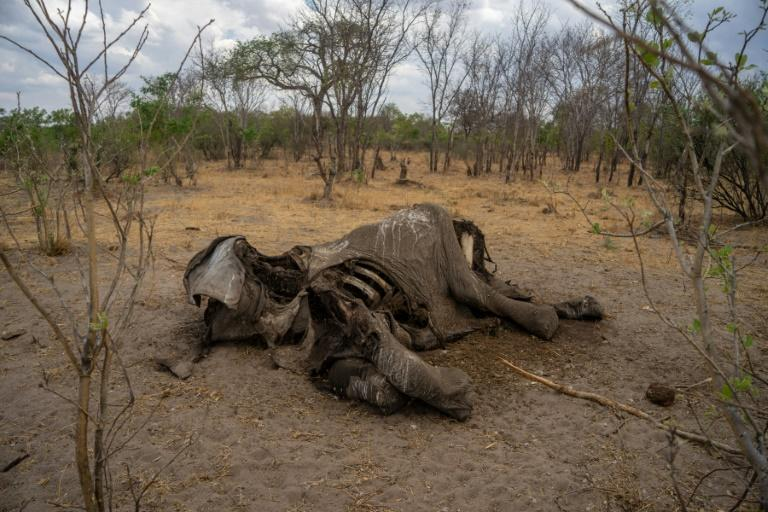Taken on November 12, 2019 it shows the carcass of an elephant that succumbed to drought in the Hwange National Park, in Zimbabwe. (AFP Photo/ZINYANGE AUNTONY)