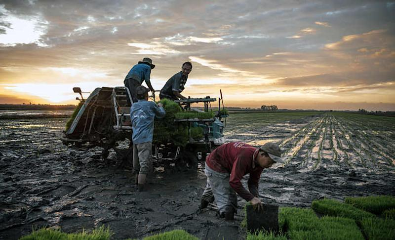 File image of workers preparing to plant rice seedlings on a farm in the Mekong River Delta near Hong Ngu, Vietnam. By Sergey Ponomarev © 2020 The New York Times
