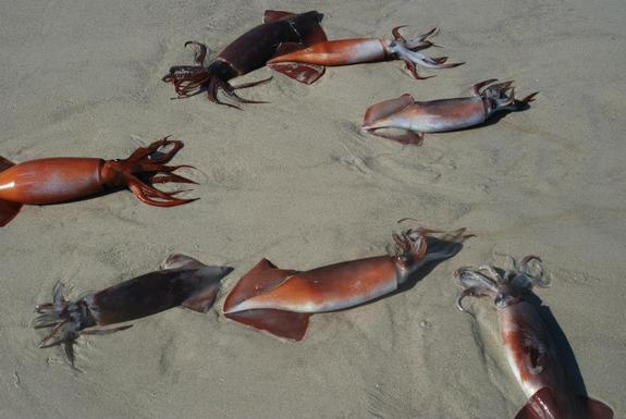 Mystery of Mass Squid 'Suicides' Possibly Solved