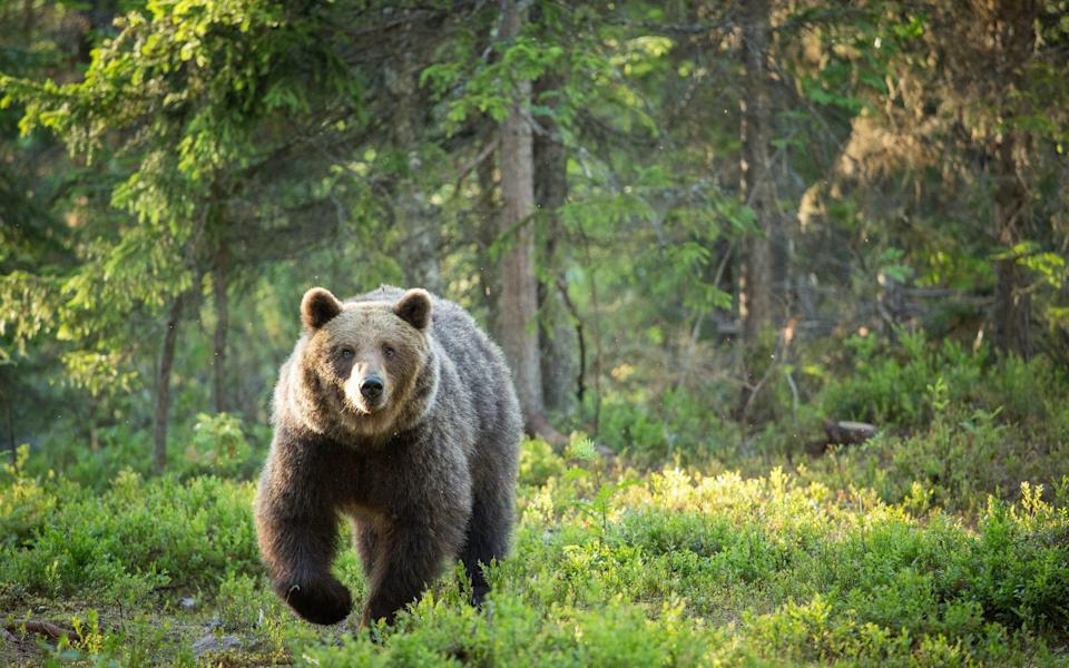 While Canada is likely off the cards, you might be able to spot bears in Finland - Getty