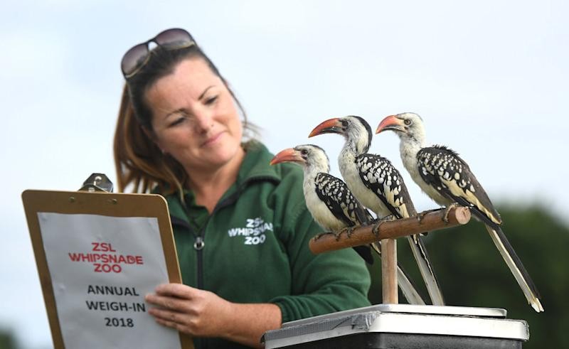 Red billed hornbills named Guinea, Mali and Chad are weighed by keeper Rebecca Feenan.