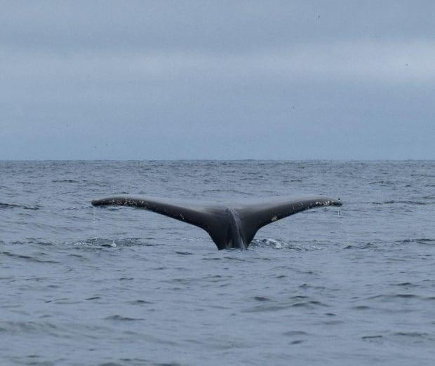The 2021 season has been successful for frequency whale sightings. The whale boat season usually lasts from June to September.   (Submitted by Capelin Creations - image credit)