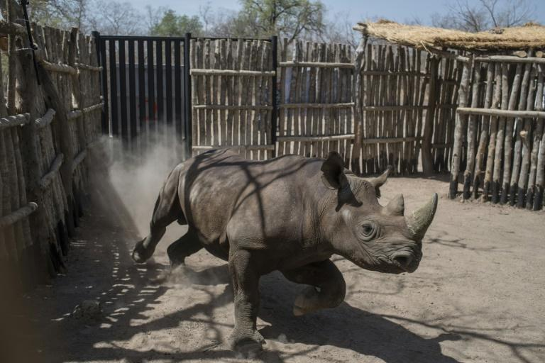 The black rhinos were shipped over to Chad from South Africa as part of an ambitious plan to reintroduce the species there after poachers had wiped them out