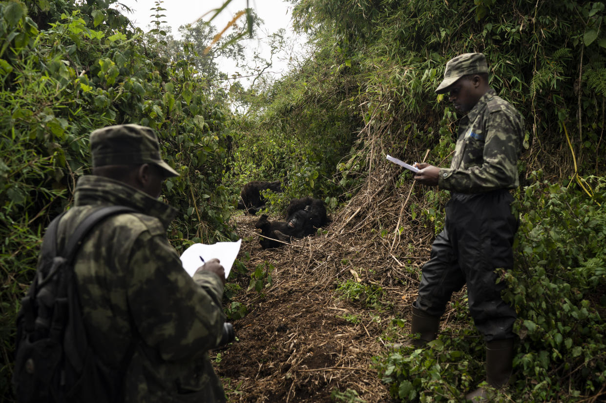 Gorilla trackers observe gorillas of the Agasha group as they play in Volcanoes National Park, Rwanda. (Photo: Felipe Dana/AP)