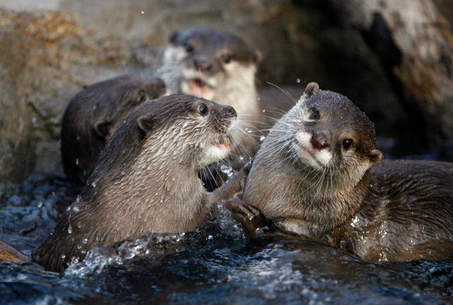 Asian small-clawed sea otters playing