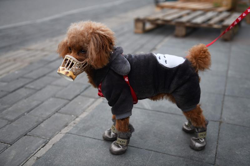 A dog wears a home made cover over its snout, which its owner said was as a preventive measure against the COVID-19 coronavirus as he stands on a sidewalk in Beijing on February 25, 2020. - China on February 25 reported another 71 deaths from the novel coronavirus, the lowest daily number of fatalities in over two weeks, which raised the toll to 2,663. (Photo by GREG BAKER / AFP) (Photo by GREG BAKER/AFP via Getty Images)