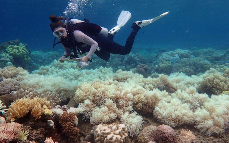 A diver examines bleaching on a coral reef on Orpheus Island, in north east Australia - AFP