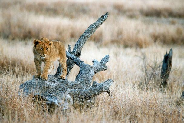 PHOTO: A lion cub is seen in Kruger National Park, South Africa. (Paul Funston/Panthera)