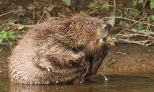 Beavers cut flooding and pollution and boost wildlife populations