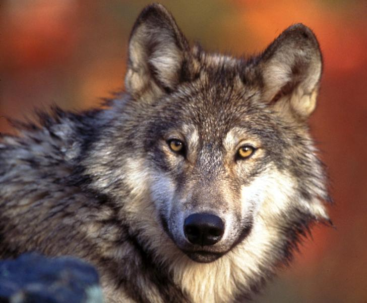 FILE - This undated photo provided by the U.S. Fish and Wildlife Service shows a gray wolf. Federal wildlife officials have drafted plans to lift protections for gray wolves across the Lower 48 states, which would end a decades-long effort that has restored the animals but only in parts of their historic range. (AP Photo/U.S. Fish and Wildlife Service, File)